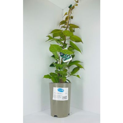Actinidia plant in grey plastic pot climbing up bamboo cane
