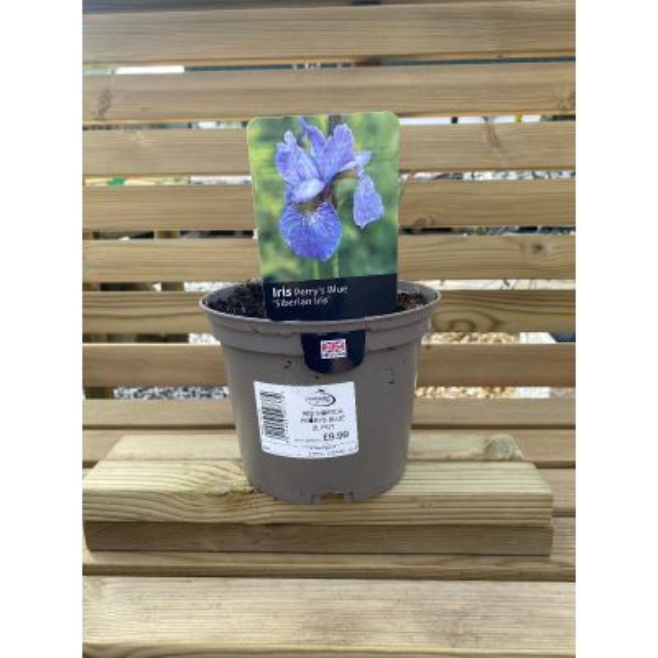 Iris Sibirica Perrys Blue 2L