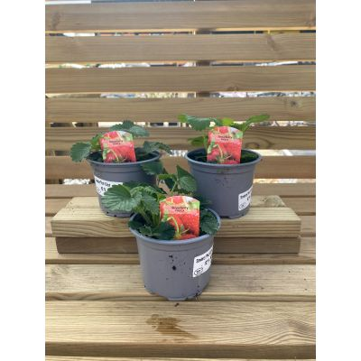 Strawberry Plants in 10.5cm Pots