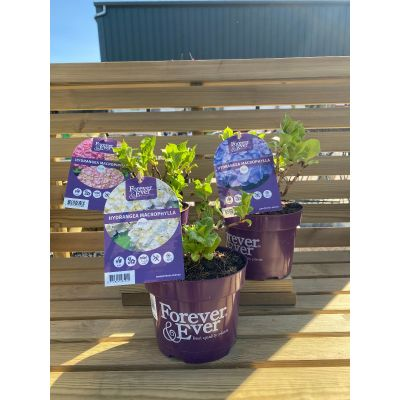 Hydrangea Forever and Ever Plant in 2L Pot