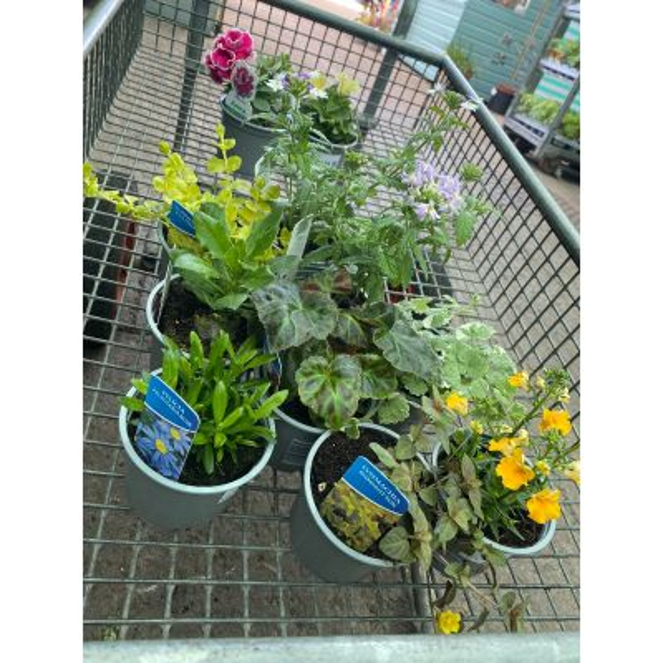 Basket Plants in 10cm Pots